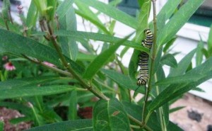 Monarch Caterpillar at Crystal River Inn, Waupaca.