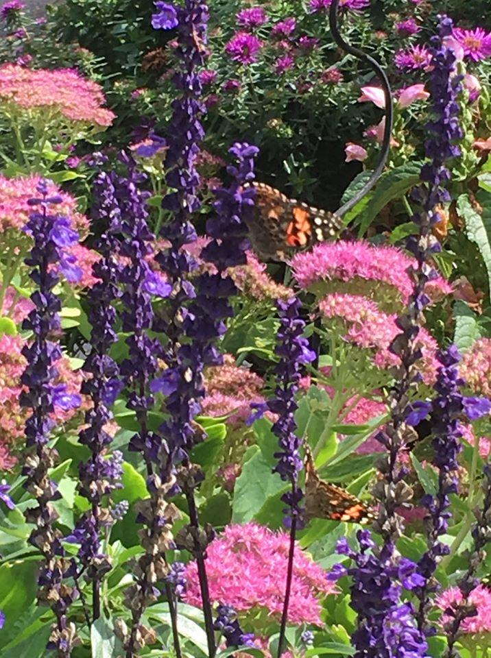 Miller's Daughter Butterfly pollinator